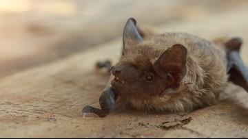 Rabid Bat Found in Guilford County Neighborhood