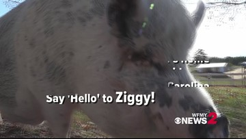 How Hope, a piglet, and other animals live their best life at Ziggy's Refuge Farm Sanctuary
