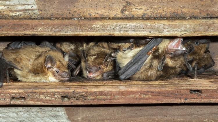 The NC Wildlife Resources Commission is warning NC homeowners to get bats out of their home before May 1
