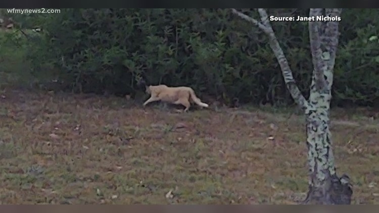 Winston-Salem woman claims cougars are living in her backyard