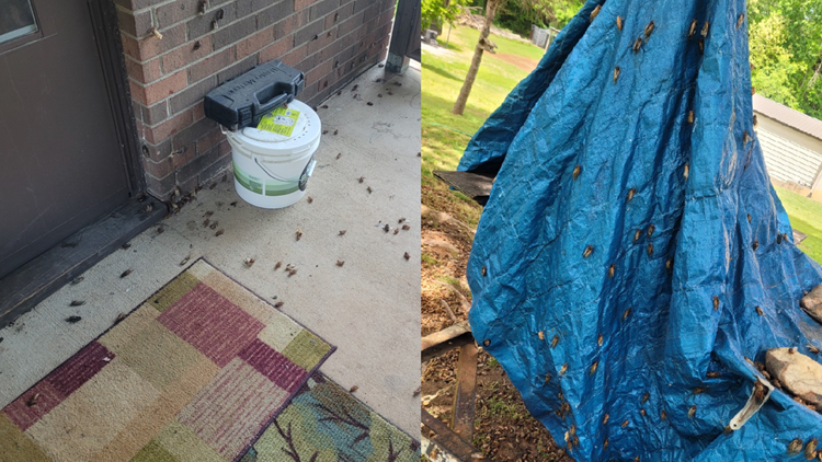 Cicada hoard emerges at Wilkesboro, NC family's home