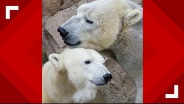 NC Zoo Polar Bears Keep Trying For A Cub