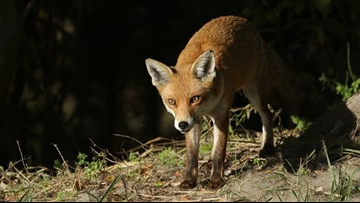 Rabid Fox Shot While Fighting With Dog in Davidson County