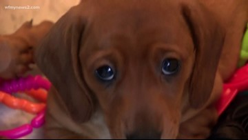 Study: 'Puppy Dog Eyes' Are An Evolutionary Trick Dogs Use On Humans
