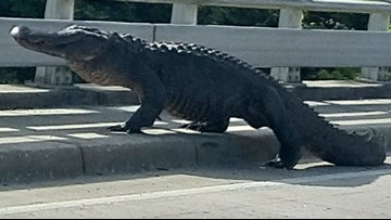 Just a Big Ole Alligator Holding up Traffic in Wilmington