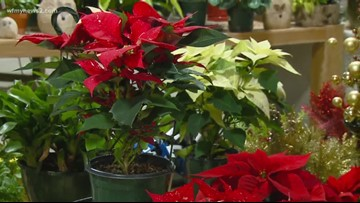 Poinsettia Care Guide To Help Keep Your Plants Fresh