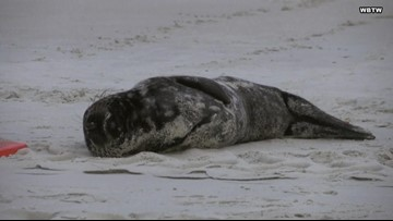 Rare Gray Seal Caught Frolicking In Sand at Myrtle Beach