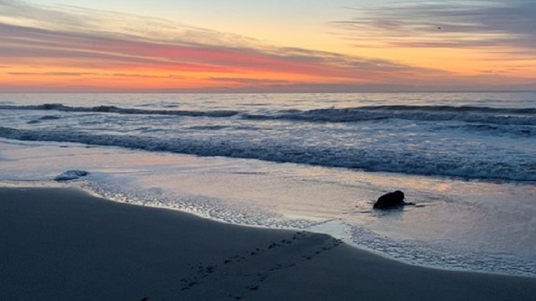 Gray Seal at Myrtle Beach