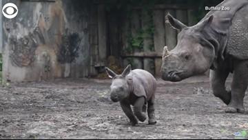Adorable 'Happy Go Lucky' Baby Rhino Makes His Debut