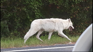 Escaped Arctic Wolf Spotted Running Around Central North Carolina