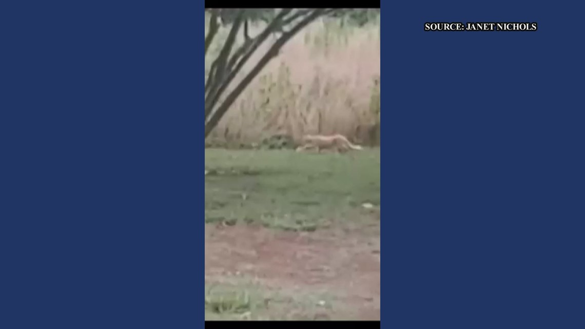 RAW: Woman claims she has a cougar living in her backyard