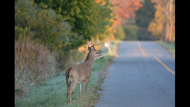Car accidents involving deer are common in the fall