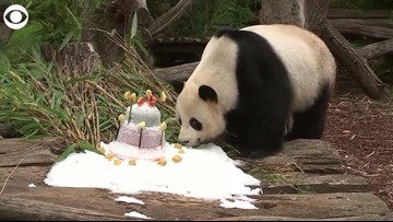 Just A Panda Eating His Birthday Cake