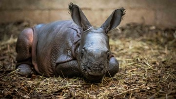 Buffalo Zoo welcomes female baby rhino
