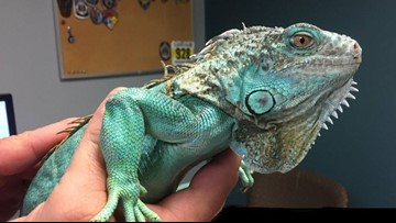 Man Arrested After Throwing Iguana At Restaurant Manager: Police