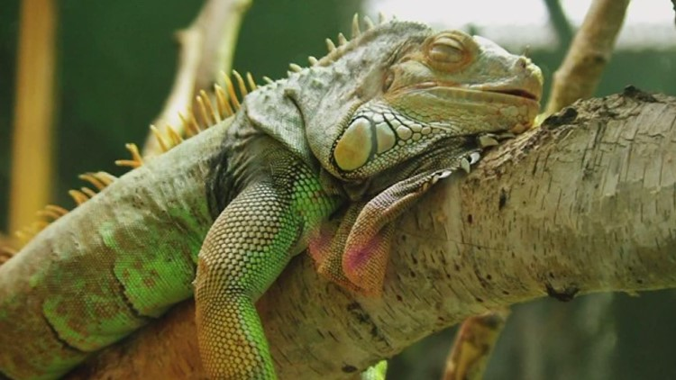 Iguana makes a surprise toilet visit in a Florida family's home