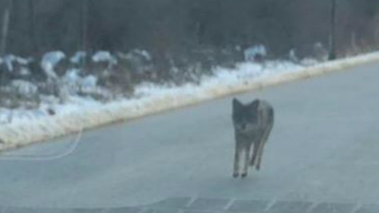 Dad kills coyote with bare hands after animal attacked his son