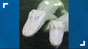 Albino alligators expecting babies at Florida park