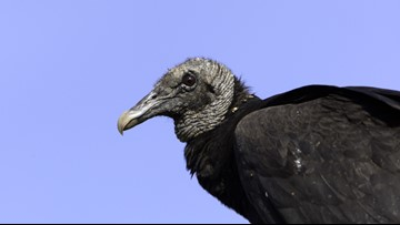'It Smells Like Rotting Corpses,' Florida Vacation Home Invaded by Vomiting Vultures