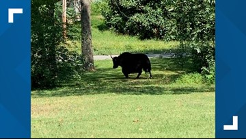Yak on ride to butcher shop escapes to Virginia mountains