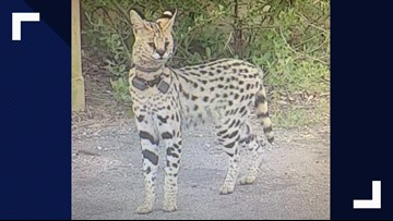 Exotic Cat on the Loose in Virginia Beach, Owner Says He's Been Missing Since October