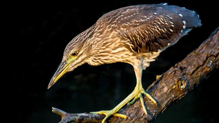 489870442 Juvenile Black Crowned Night Heron