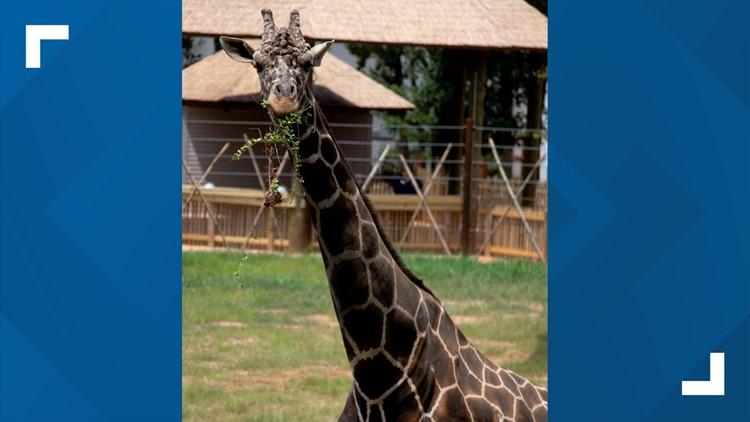 'A very sad day'   Giraffe at Zoo Atlanta dies