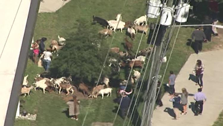 Herd of goats running amok in Atlanta